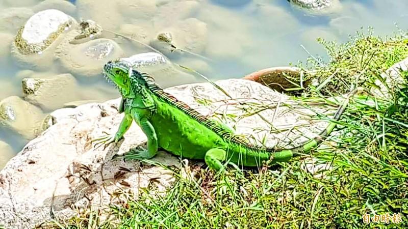 《TAIPEI TIMES》 Number of invasive green iguanas growing