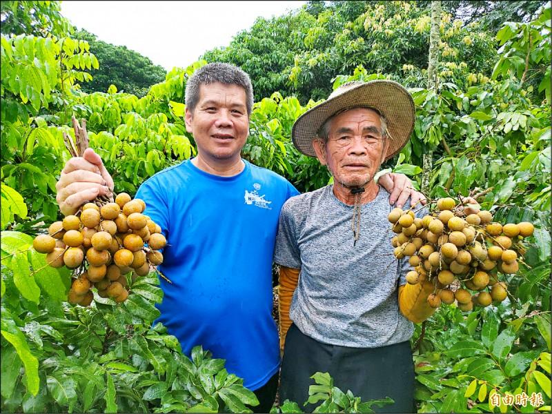 社頭龍眼果農劉政治(右)、劉克貌(左)將果樹矮化,躲過荔枝椿象危害。(記者陳冠備攝)