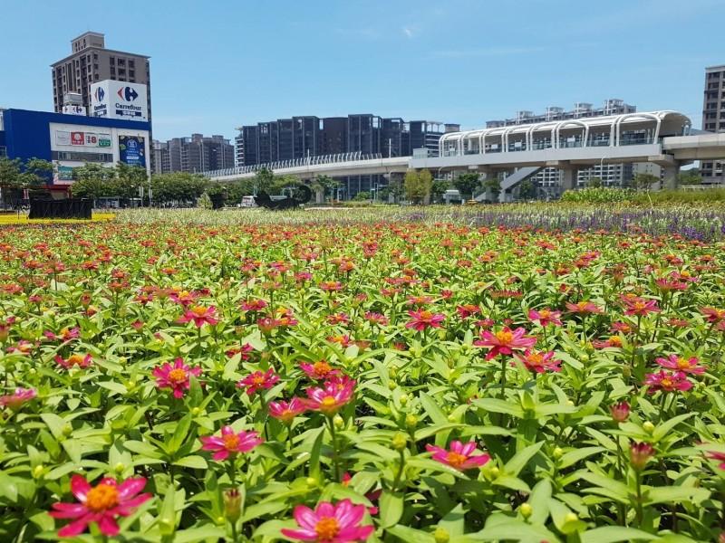 基地盛開的百日草,後方就是淡海輕軌行政中心站。(新北景觀處提供)
