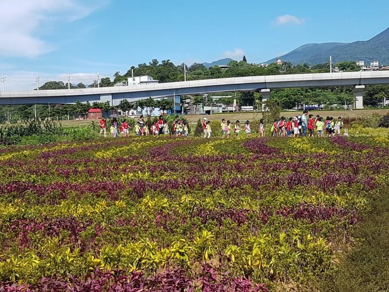 黃色葉片的灑金變葉木,與紫紅色葉片的錦葉紅龍。(新北景觀處提供)