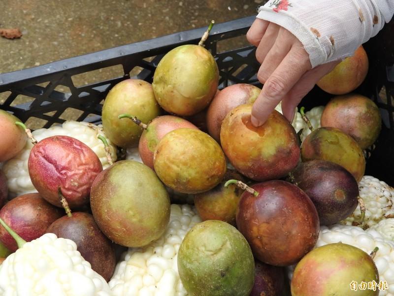 水傷嚴重的百香果已開始腐爛,農民只能忍痛淘汰。(記者佟振國攝)