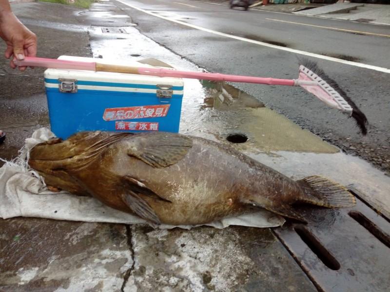 釣友在大鵬灣海域用2號竿釣到重達逾40台斤的龍膽石斑,相當驚喜。(記者陳彥廷翻攝)