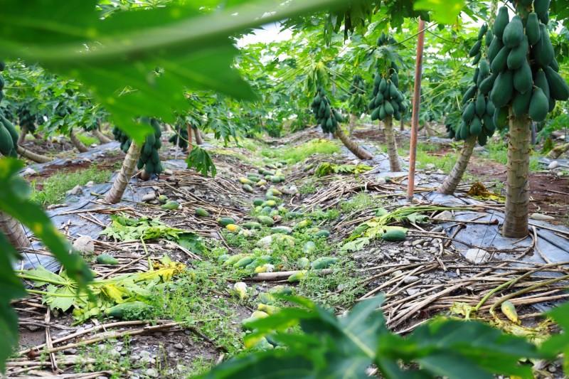 屏東縣木瓜受損嚴重,比照高雄市辦理現金救助。(記者葉永騫翻攝)