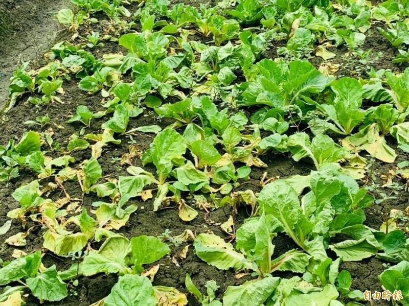 連日大雨,葉菜出現枯黃死亡災損。(記者林國賢攝)