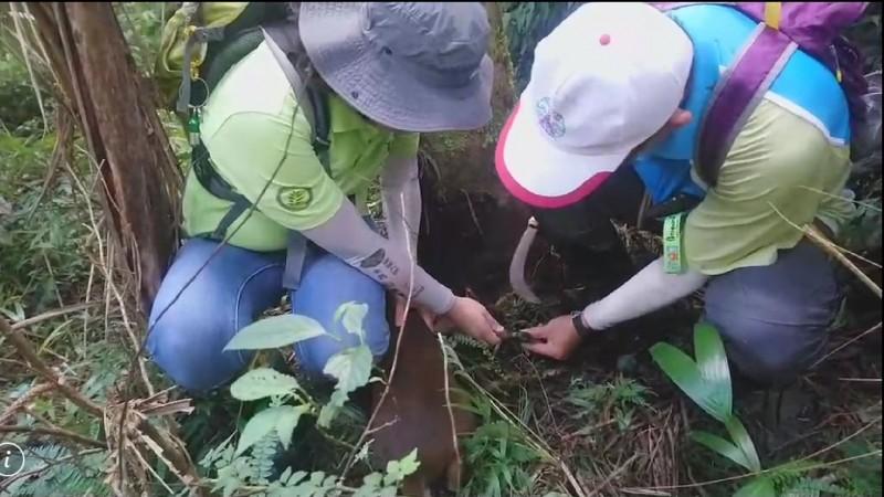 羅東林管處山林護管員,合力營救受困陷阱的山羌。(圖由羅東林管處提供)
