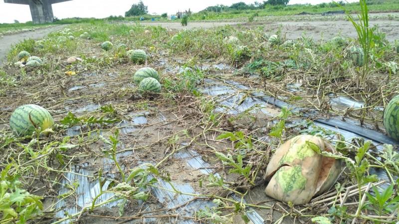 豪雨造成許多西瓜田的西瓜都腐爛了。(農業局提供)