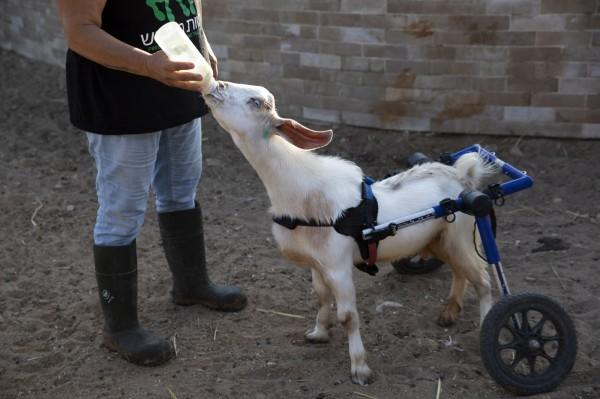 中國羊奶市價腰斬 羊隻慘當「肉品」賣