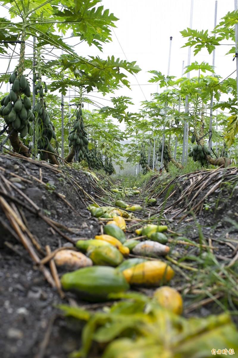 南部地區對流旺盛持續降雨,屏東木瓜園滿目瘡痍。(記者邱芷柔攝)
