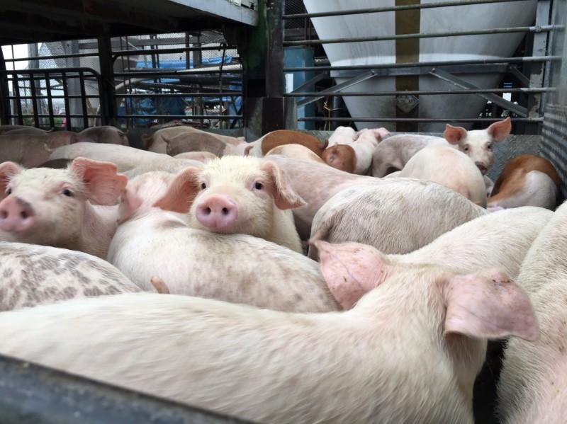 200頭以下的養豬業者,年底前若未取得廢水管理計畫核准,將挨罰。(圖由台南市環保局提供)