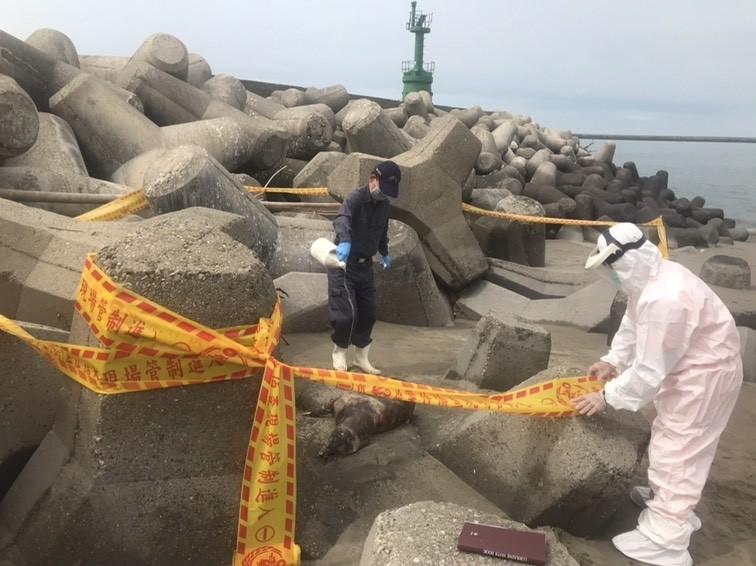 台中港北場發現疑似豬屍,台中岸巡隊人員趕往消毒,後經確認為狗屍,當場就地掩埋。(記者歐素美翻攝)