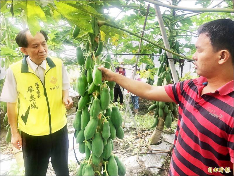 埔里鎮長廖志城(左)昨至籃城里的主要木瓜栽種區勘查木瓜受災情況,農民表示真的很不樂觀。(記者佟振國攝)