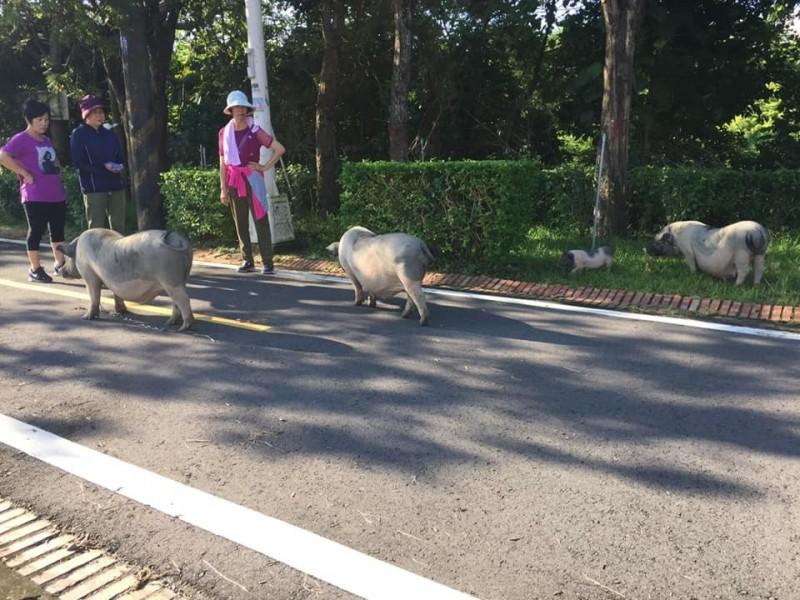 3隻大麝香豬及1隻小麝香豬在東豐綠廊自行車道閒逛,附近早起運動的居民見怪不怪。(擷取自臉書)