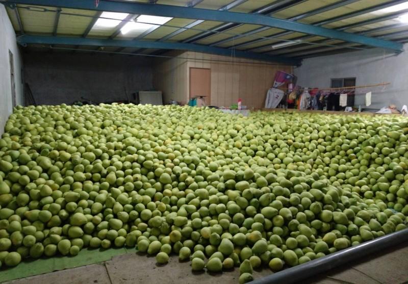 花蓮柚農羅峰將採收下的柚子進行存放。(柚農羅峰提供)