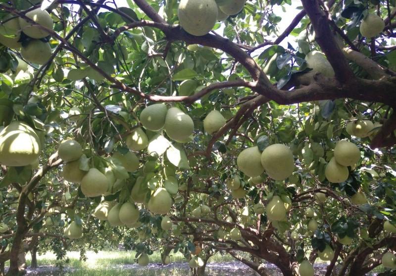 花蓮柚農羅峰栽種的柚子品質良好。(柚農羅峰提供)