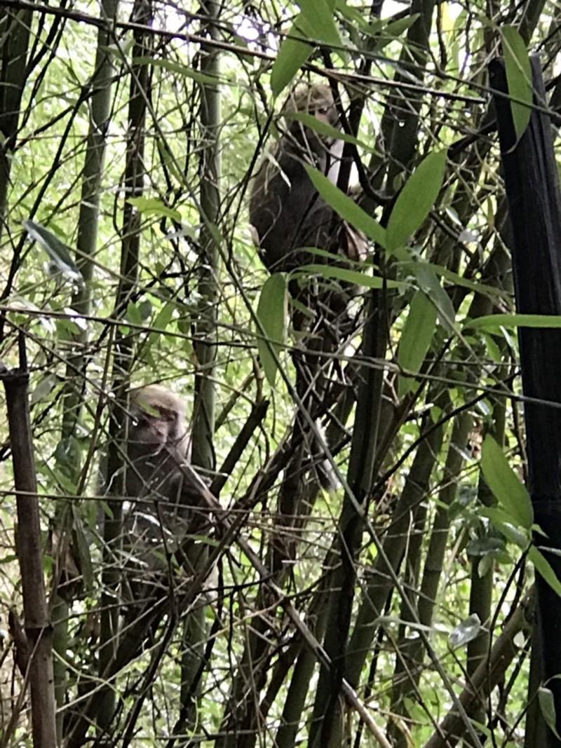 雲林山區可見台灣獼猴群覓食,圖為古坑二尖山登山步道旁猴群在竹林裡吃竹筍。(記者黃淑莉翻攝)