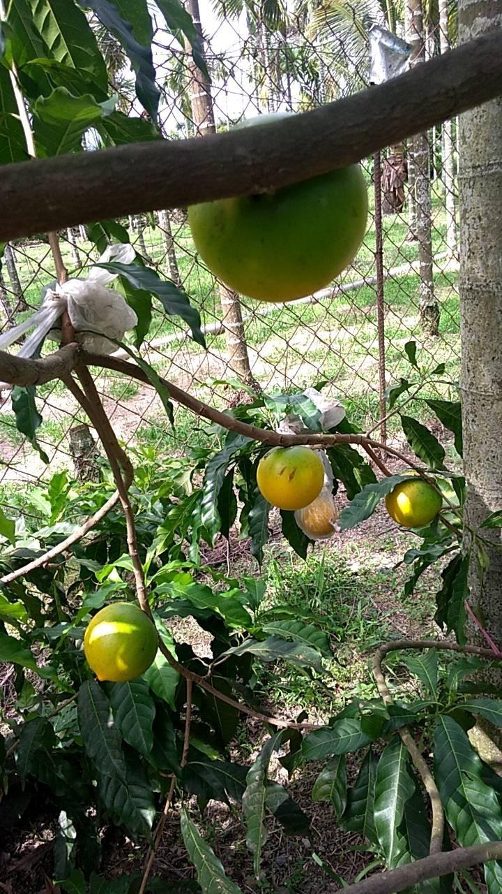 涂順元從在檳榔樹下種黃金果,近年檳榔價格浮動且整體價格不好,現在想勸父母轉作。(記者陳彥廷翻攝)