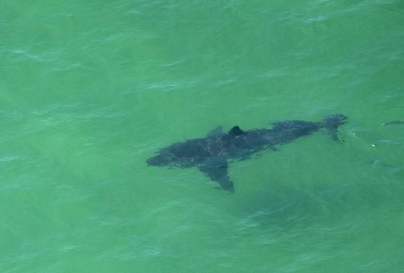 一隻大白鯊被目擊在麻薩諸塞州(Massachusetts)海岸沿線出沒。(法新社)