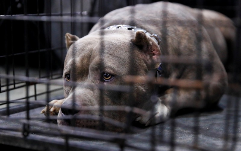 美國底特律(Detroit)傳出比特犬傷人致死事件,9歲女孩赫南德斯(Emma Valentina Hernandez)被咬斷脖子,送醫搶救後仍重傷不治。比特犬示意圖。(路透)