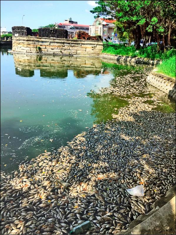 安平小砲台出現大量魚屍,現場惡臭難聞。(李啟維提供)