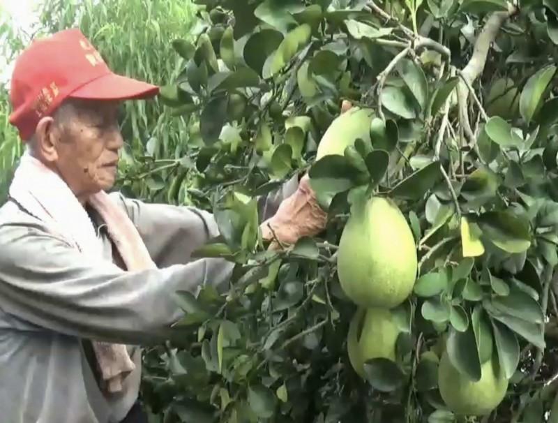 白鹿颱風來勢洶洶,花壇鄉果農憂心整年心血泡湯,提前在颱風侵襲前搶收。(記者湯世名翻攝)