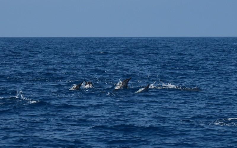 颱風白鹿逼近台灣,花蓮賞鯨船今上午照常出海,數十隻飛旋海豚現蹤。(多羅滿賞鯨業者提供)