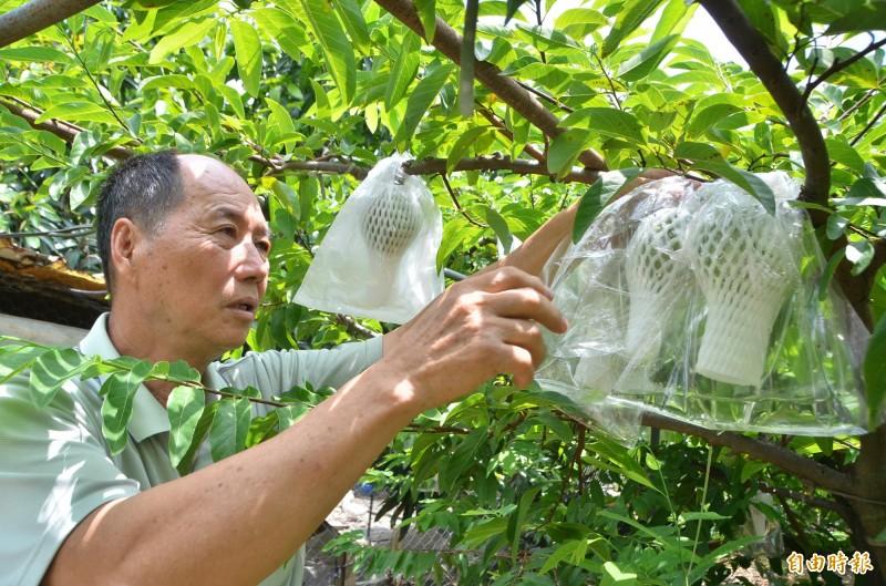 白鹿颱風來襲,農民趕緊為釋迦套袋,全力防災。(記者吳俊鋒攝)