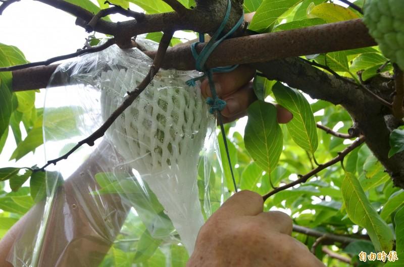 農民以繩索將果樹枝幹綁緊,避免不堪強風而折斷。(記者吳俊鋒攝)