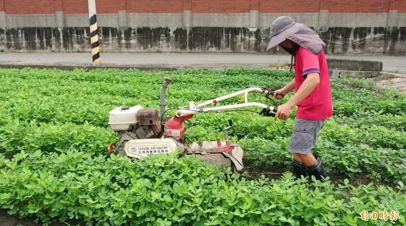 嘜擱落啊!農民忙著為花生田覆土 盼老天爺不要再下雨了