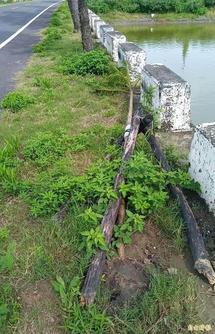 市府工務局說,行道樹剛倒不久,盡快扶正應該還會活,將再要求公所儘速處理。(記者楊金城攝)