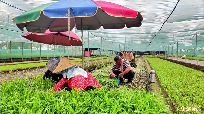 白鹿颱風警報發布 農委會:菜價聞聲漲幅8.3%