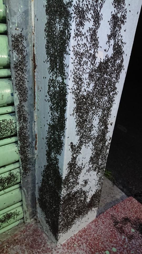 嘉義縣中埔鄉有大量飛蟻入侵民宅。(徐紹唐提供)