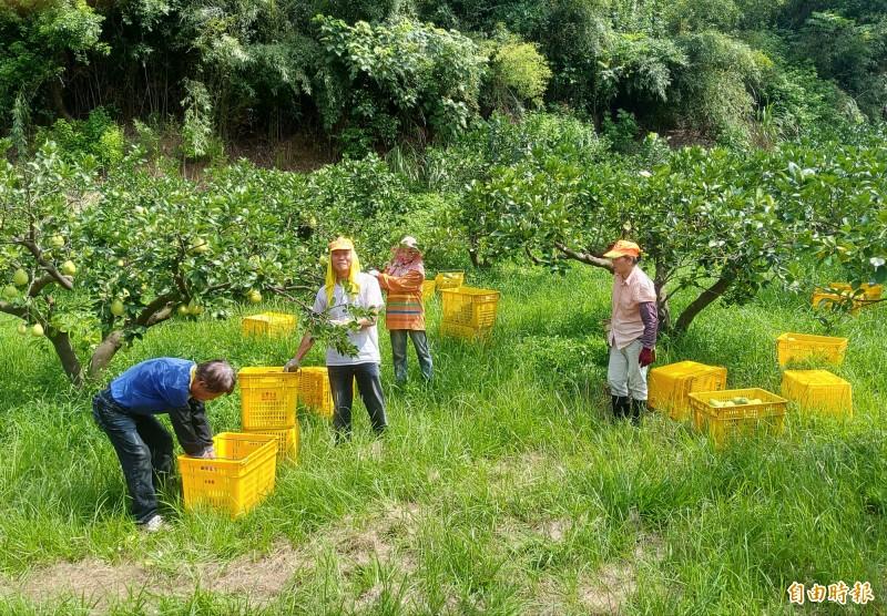 還沒長大文旦無法搶收 西湖柚農估產量減2至3成