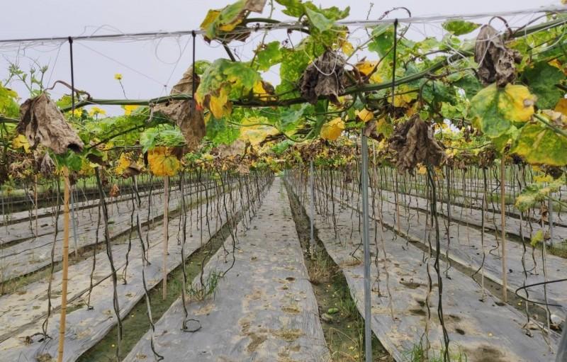 降雨太多,影響絲瓜植株生長,瓜藤、葉子枯萎死。(記者楊金城翻攝)(記者楊金城攝)
