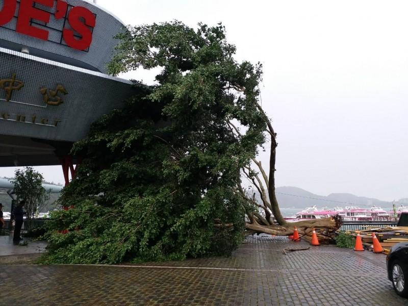 日月潭伊達邵遊客中心廣場大樹被攔腰折斷。(記者劉濱銓翻攝)