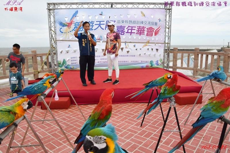 苗栗縣鸚鵡訓練交流協會經評估颱風影響不大,選擇於風力較小時放飛,強調並無虐待。(記者鄭名翔翻攝)