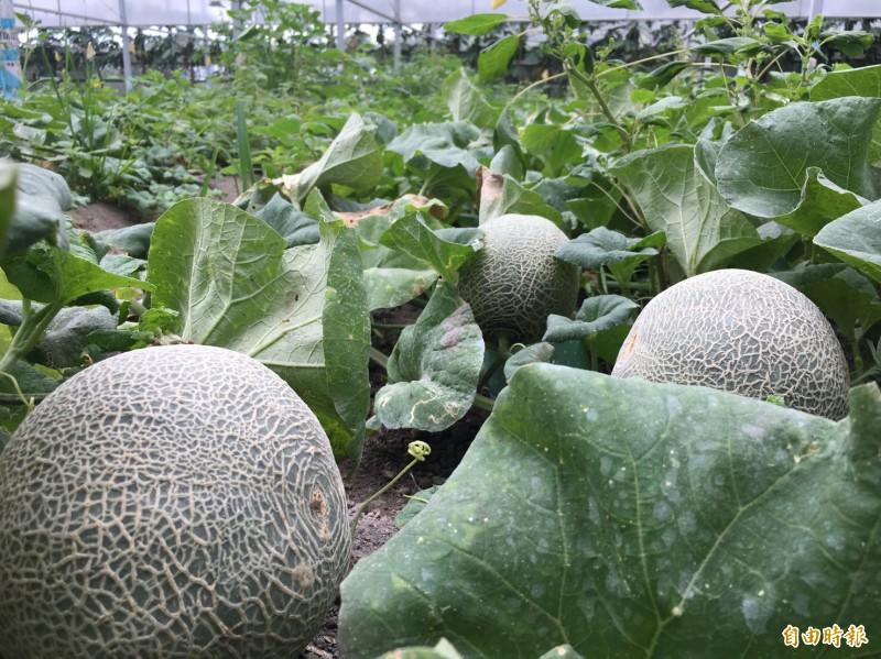 香草野園有機農場栽種的蔬果長的更壯碩。(記者李容萍攝)