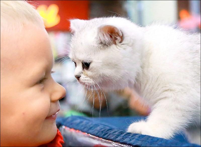 中亞國家吉爾吉斯首都比斯凱克(Bishkek)2017年11月舉行貓咪展,來自哈薩克和吉國的「貓奴」飼主們齊聚一堂,獻寶家裡的喵星人。圖為一名兒童與一隻蘇格蘭短毛貓近距離接觸。(歐新社檔案照)
