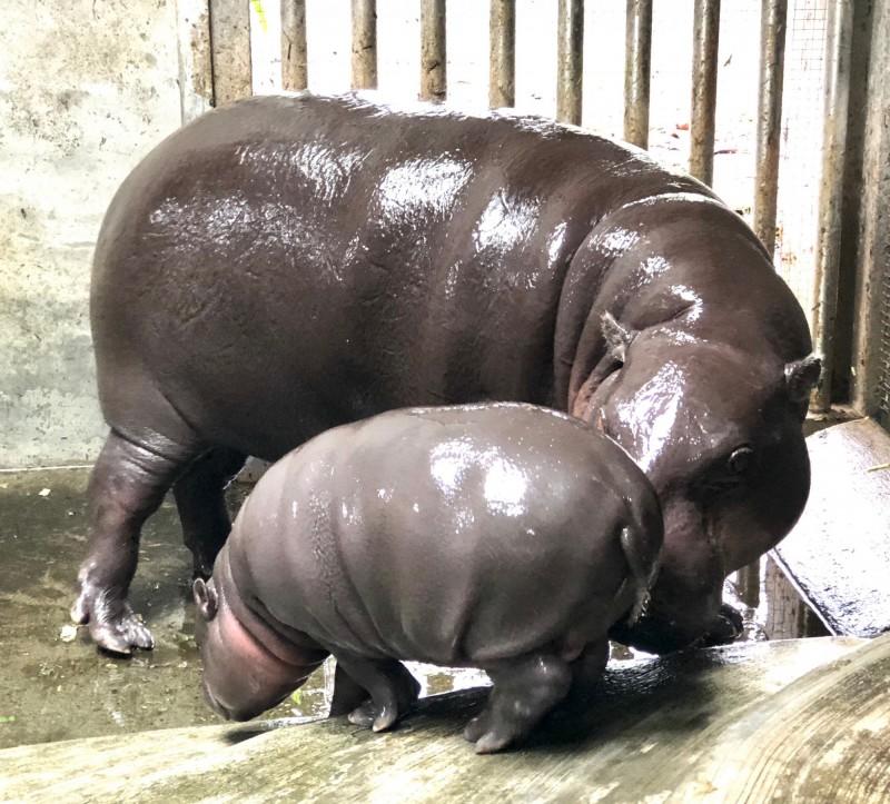 壽山動物園侏儒河馬生寶寶了! 歡迎大家一起命名