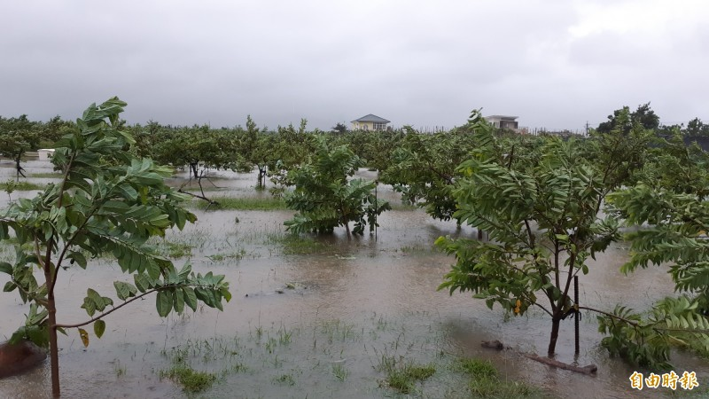 白鹿颱風過境,釋迦園受損。(記者黃明堂攝)