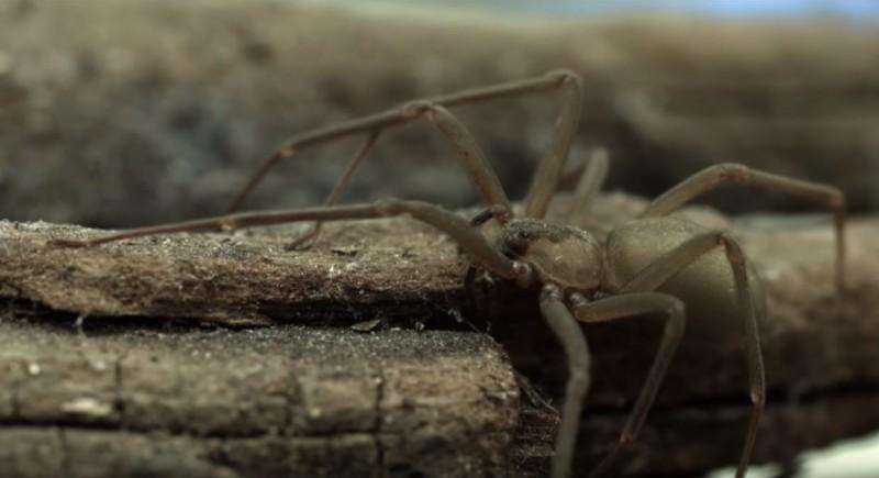 恐怖... 以為耳朵進水 結果掏出一隻劇毒蜘蛛