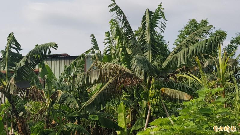 香蕉在這次白鹿颱風受損嚴重。(資料照,記者簡惠茹攝)