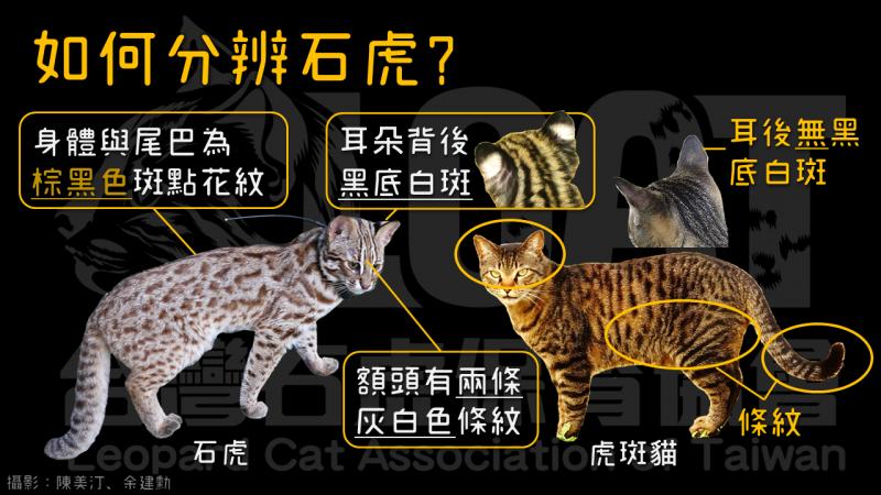 台灣石虎保育協會今天教大家3秒辨識石虎。(記者簡惠茹翻攝)