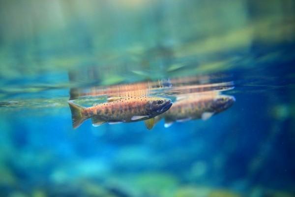 雪管處合歡溪放流3000尾櫻花鉤吻鮭。(雪霸國家管理處提供)