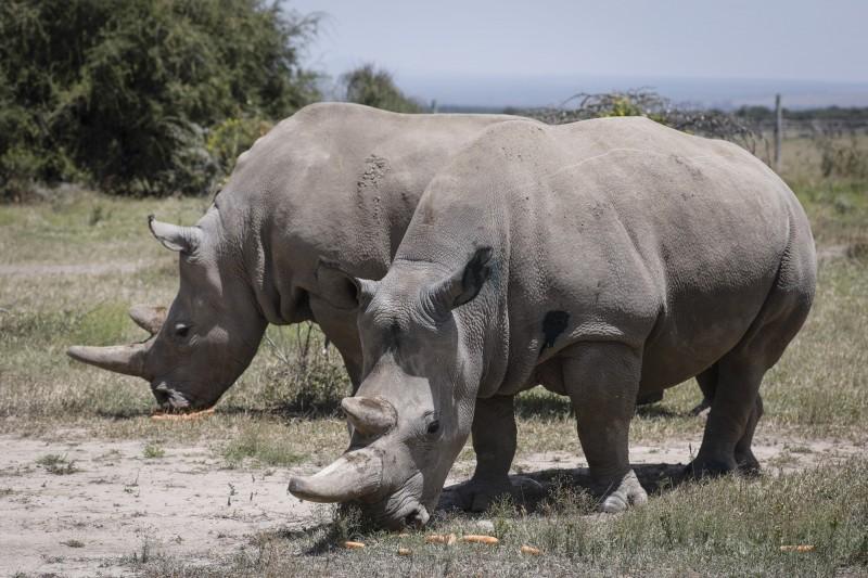 世界僅存2隻母北白犀Najin(左)和Fatu(右)。(歐新社)