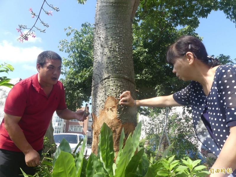 金城鎮長李誠智(左)會同縣林務所長楊慧明(右)會勘受傷的美人樹。(記者吳正庭攝)