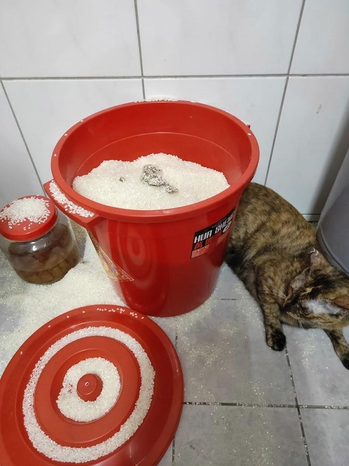 一隻米克斯貓誤將米桶當成貓砂盆,在裡面排遺讓主人相當傻眼。(葉姓民眾提供)