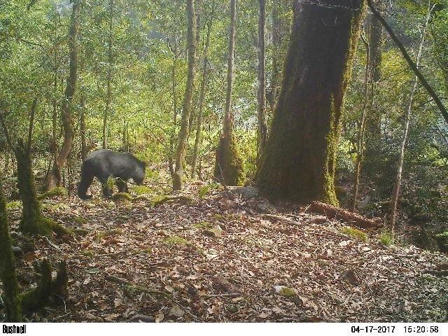 玉山國家公園今年來已數度發現臺灣黑熊。(玉管處提供)