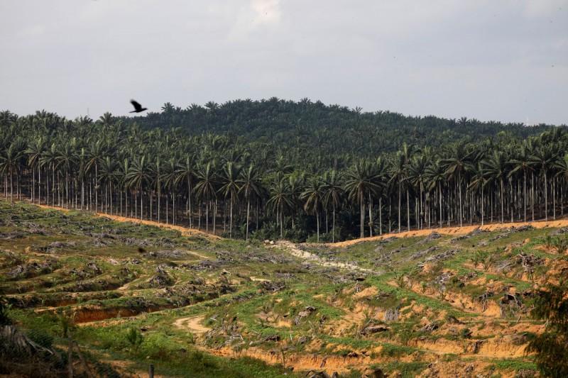 馬來西亞最大的連鎖超市「Mydin」高級主管週四(5日)表示,旗下超商已下架標示「不含棕櫚油」的產品。圖為大馬油棕樹林。(路透)