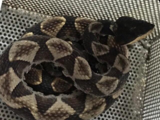 百步蛇身長約80公分。(警方提供)