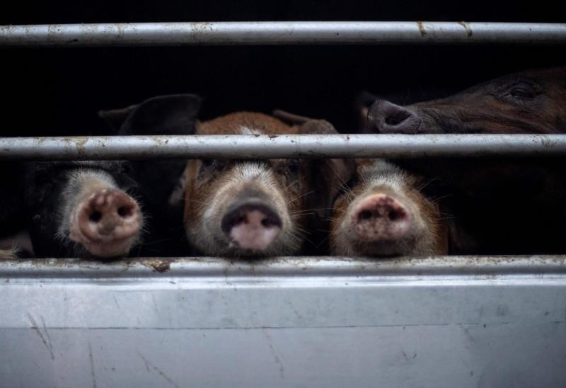 非洲豬瘟與美中貿易大戰影響下,中國豬肉價格已失控飆漲。(法新社)